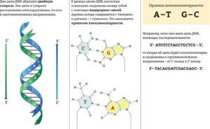 водородные связи в днк